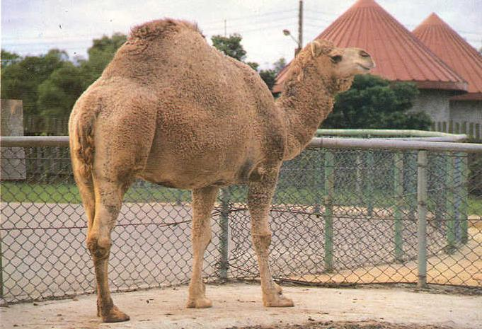 Camel pic.